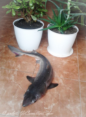 Акула-катран