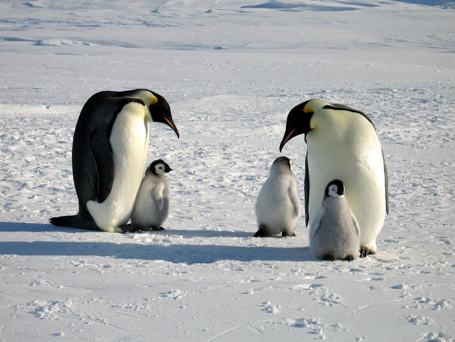 pingvini-10
