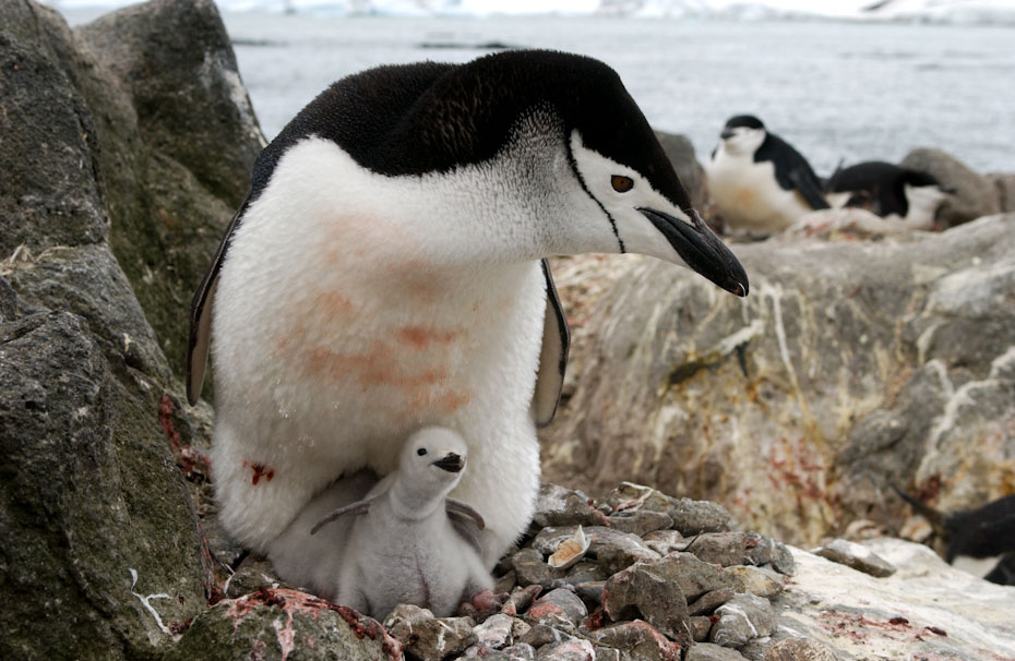pingvini-11