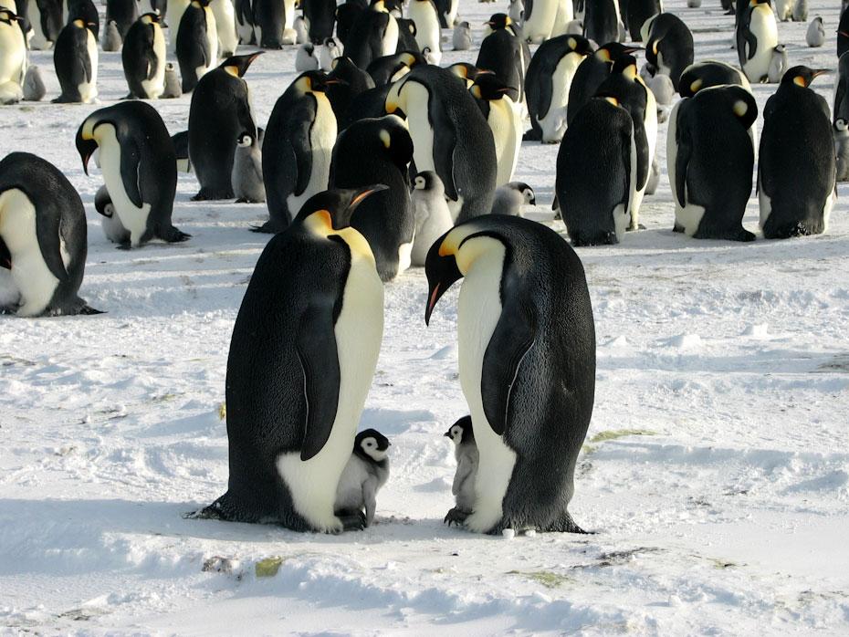 pingvini-12