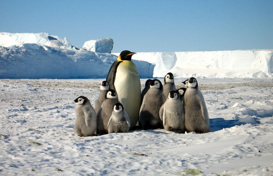 pingvini-18