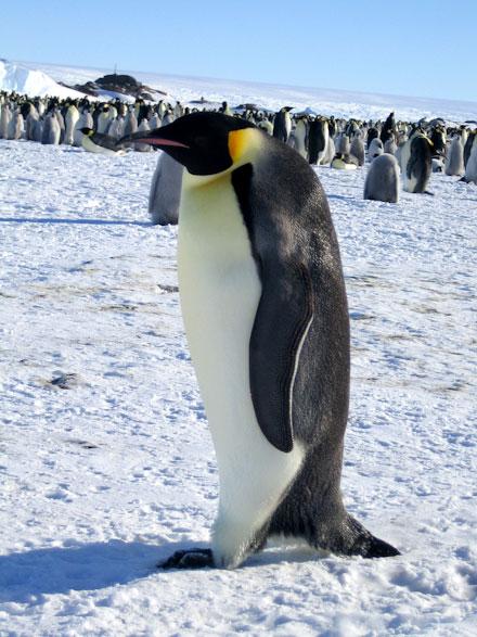 pingvini-2