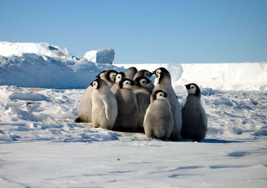 pingvini-21