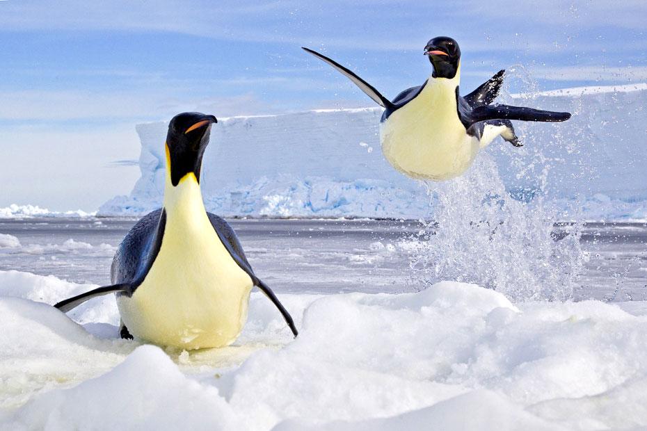 pingvini-24