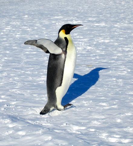 pingvini-3