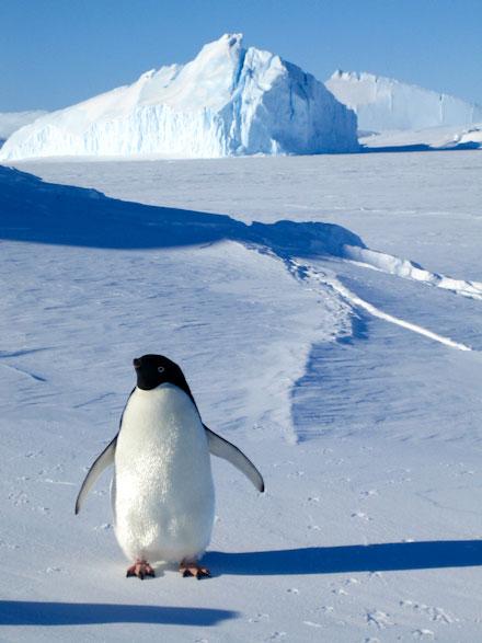 pingvini-4