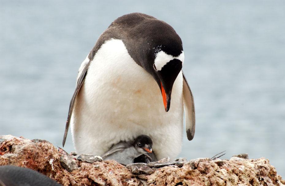 pingvini-5