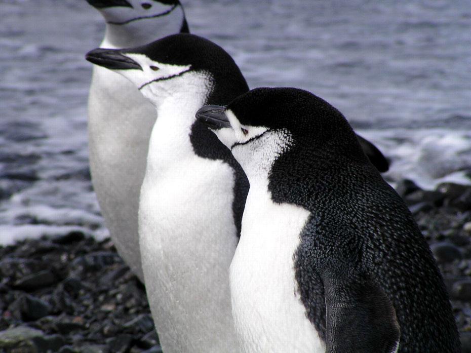 pingvini-7